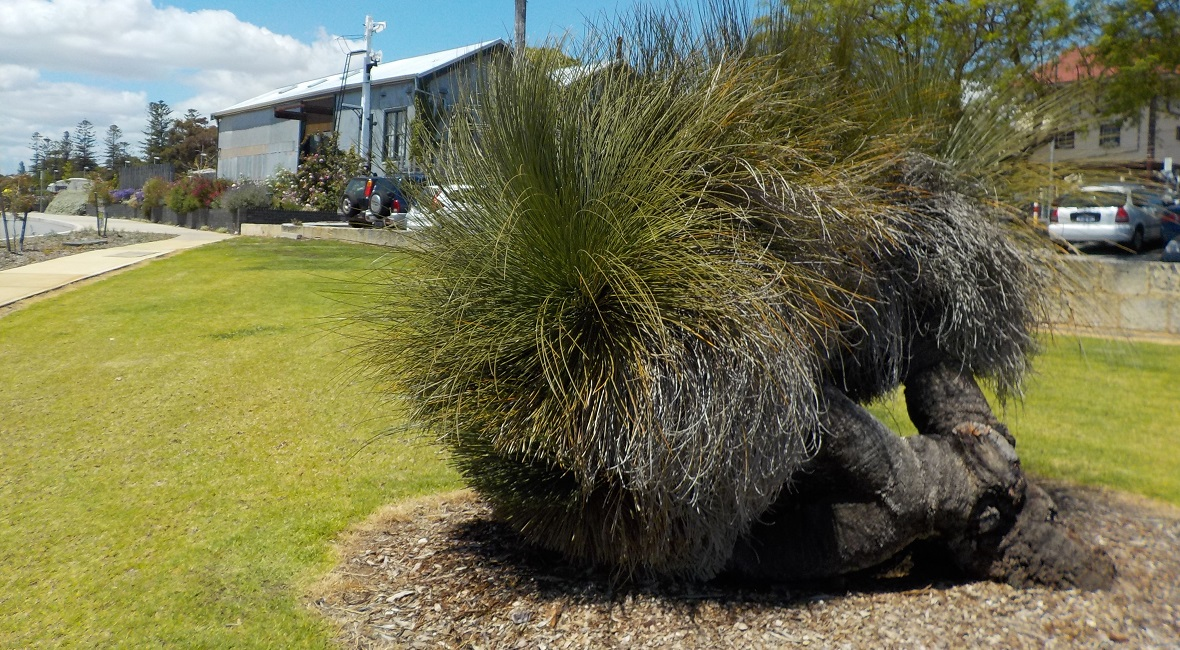 Grass tree near the Claremont train station